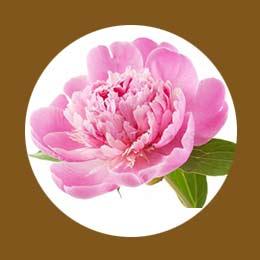 Розовый пион в парфюмированной эссенции Eternal